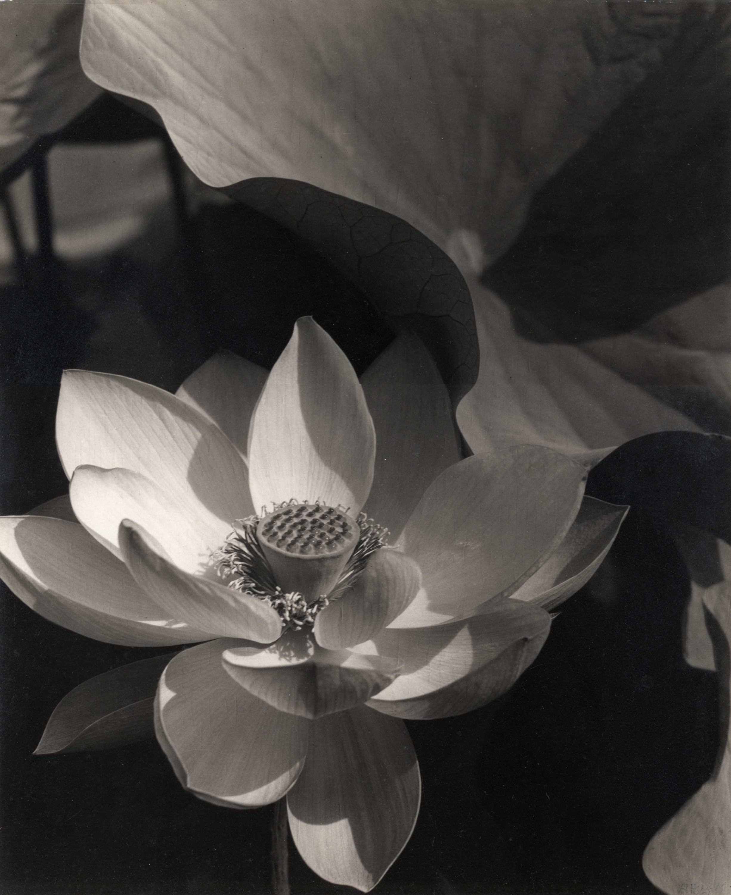 Lotus, Mount Kisco, 1915