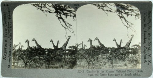 Giraffes in the Krueger National Park,Transvaal, the Game Sanctuary of South Africa