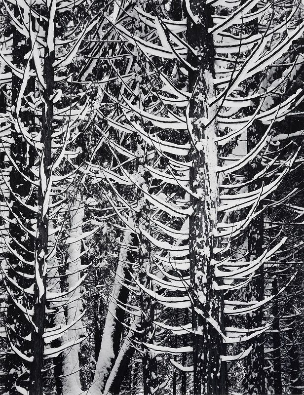 Winter, Forest Detail, Yosemite Valley